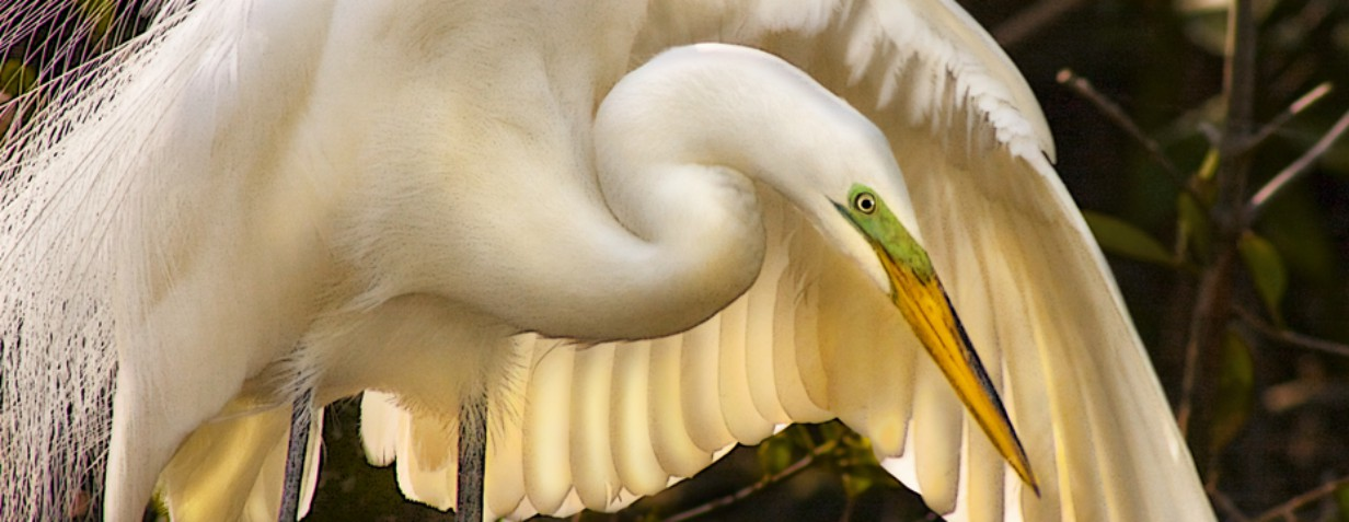 8 Great white egret - CJ Groth